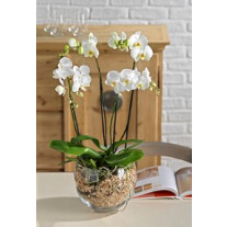 orchid plant 4 stam